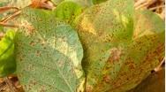Ferrugem Asiática preocupa produtores de soja de Paracatu