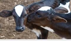 Vacinação do gado contra febre aftosa começa nesta quinta, 1º de novembro
