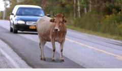 Constante aparecimento de animais na pista assustam usuários da MG 188